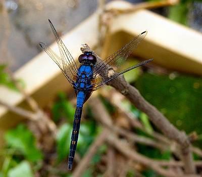 Royal Blue Drangonfly Hong Kong by Kathy Daxon