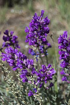 Royal Purple by Laura Pratt