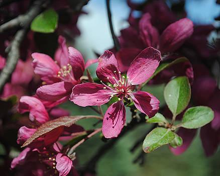 Royal Raindrop Crabapple Blossoms by Pat Thompson
