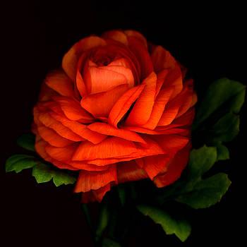 Marsha Tudor - Royal Ranunculus