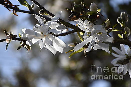 Royal Star Magnolia Blossoms by Sylvia Blaauw