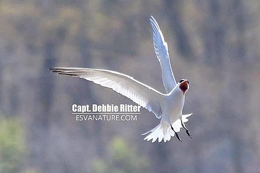 Royal Tern 1574 by Captain Debbie Ritter