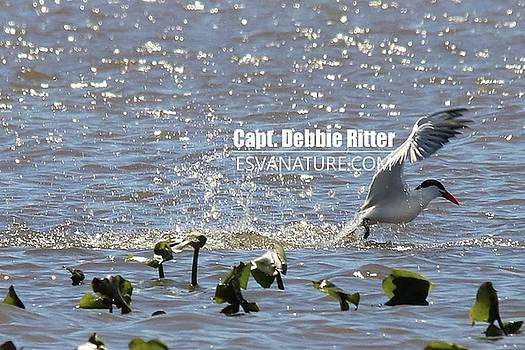 Royal Tern 2008 by Captain Debbie Ritter