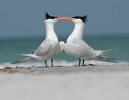 Royal Tern Courtship by Jim Gray