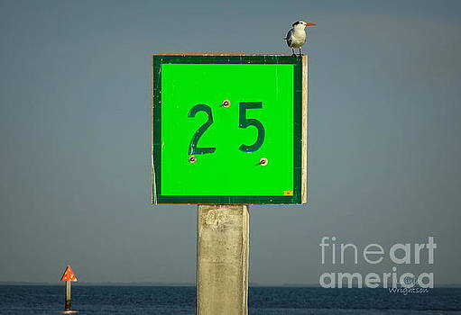 Royal Tern Turning Sideways by Lainie Wrightson