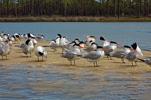 Royal Terns on Sand Spit by Sally Weigand
