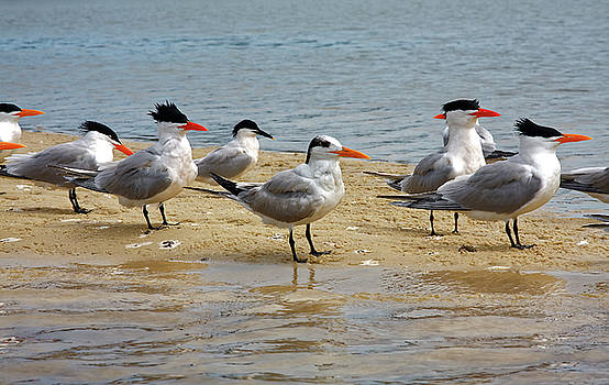 Royal Terns by Sally Weigand