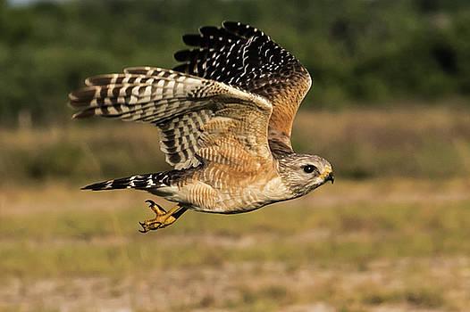 RSH in Flight by Kelly Kennon