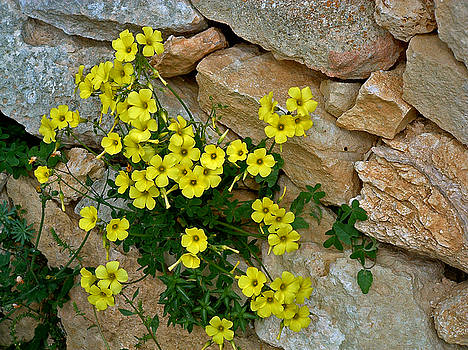 Mary Attard - Rubble wall and wild flowers