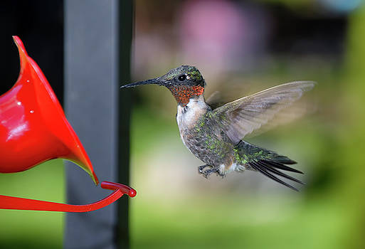 Ruby Red Throat Hummingbird by Jim Vallee