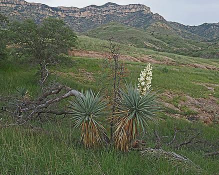 Ruby Road Yucca by Tom Daniel