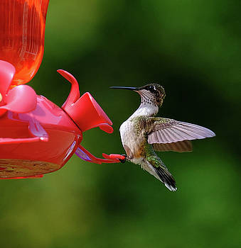 Ruby-throated Hummer by Ronda Ryan