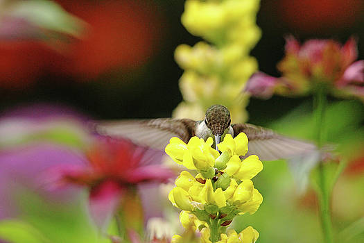 Debbie Oppermann - Ruby Throated Hummingbird And Lupine