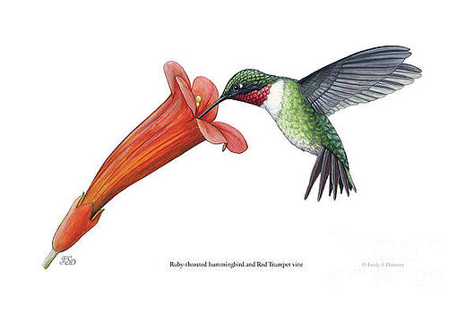 Ruby-throated hummingbird and Red Trimpet vine by Emily Damstra