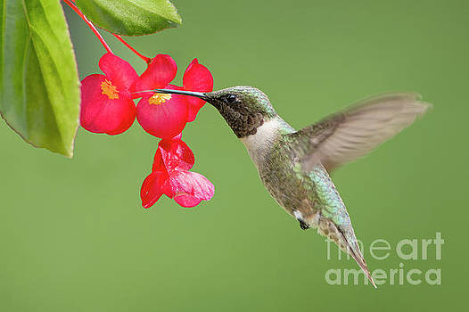 Ruby Throated Hummingbird Feeding on Begonia by Bonnie Barry