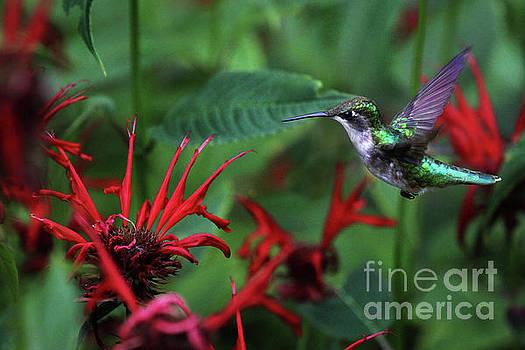 Ruby-Throated Hummingbird by Kathy Eastmond