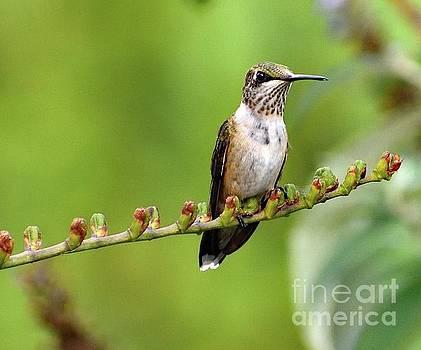 Cindy Treger - Ruby-throated Hummingbird On Crocosmia Stem