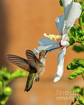 Ruby Throated Hummingbird by Stephen Whalen
