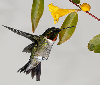 Lara Ellis - Ruby-Throated Hummingbird With Jasmine