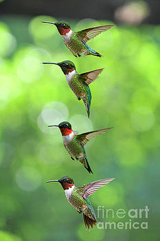 Dan Friend - Ruby-throated Hummingbirds picture