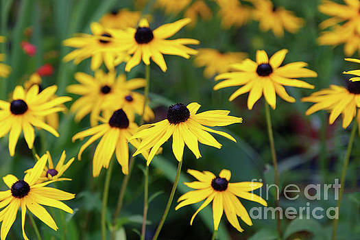 Rudbeckia Goldstrum Flowers by Anita Van Den Broek