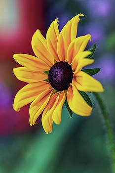Rudbeckia is a favorite flower of the first settlers of North America by George Westermak