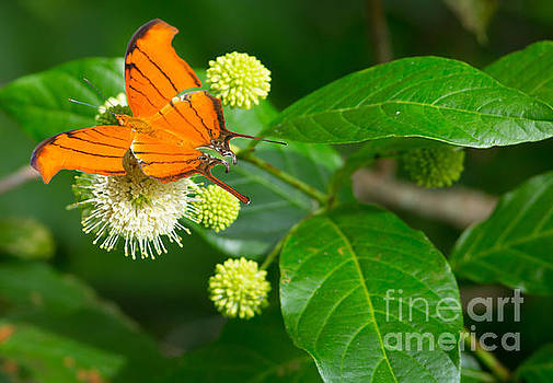 Ruddy Daggerwing Butterfly  by Natural Focal Point Photography