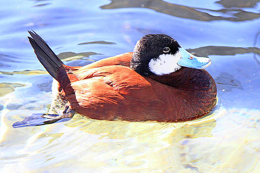 Ruddy Duck 1 by Shoal Hollingsworth