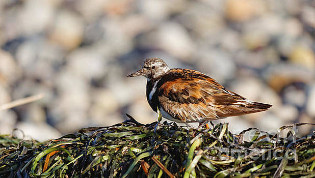 Ruddy Turnstone on Seaweed by Hui Sim