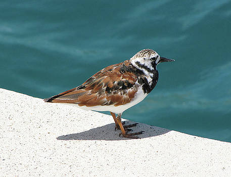 Ruddy Turnstone Seabird on Bermuda by Bob See