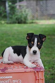 Rudy the Rat Terrier by Rebecca Poole