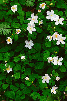 Rue Anemone by Jeff Rose