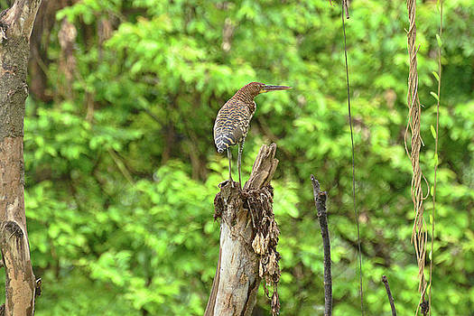 Harvey Barrison - Rufescent Tiger Heron in Bokeh Setting