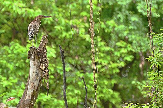 Harvey Barrison - Rufescent Tiger Heron on the banks of the Rio Dorado