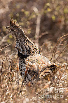 Ruffed Grouse Gets Rough by Natural Focal Point Photography