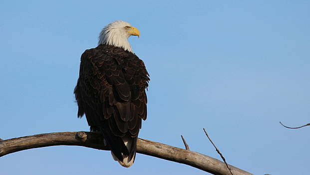 Ruffled Eagle by Emily Spivy
