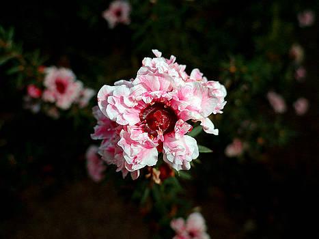 Robert Meyers-Lussier - Ruffled Pink