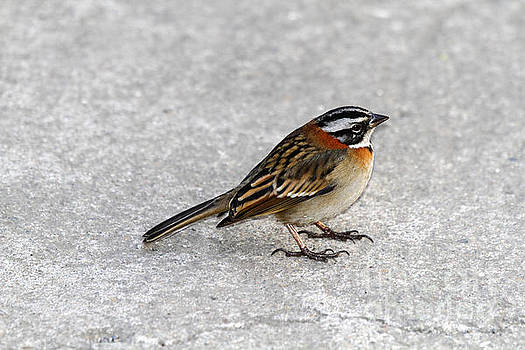 James Brunker - Rufous collared sparrow