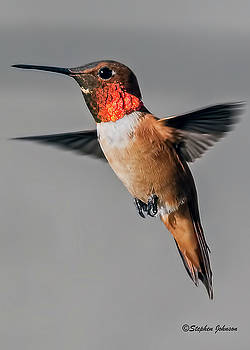 Rufous Male in-Flight by Stephen Johnson