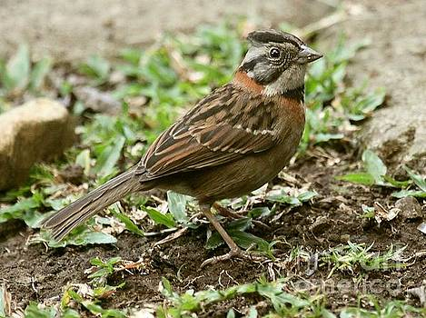 Rufus-collared Sparrow by Myrna Bradshaw