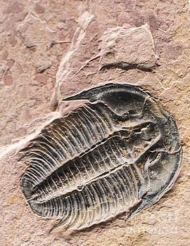 Rugged Fossil Trilobite by Bill Frische