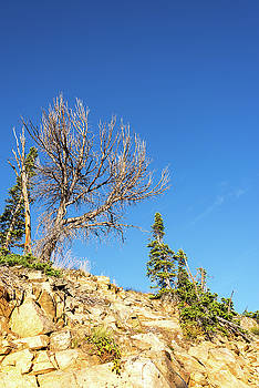 Rugged Trees in the Beartooth Mountains by Jess Kraft