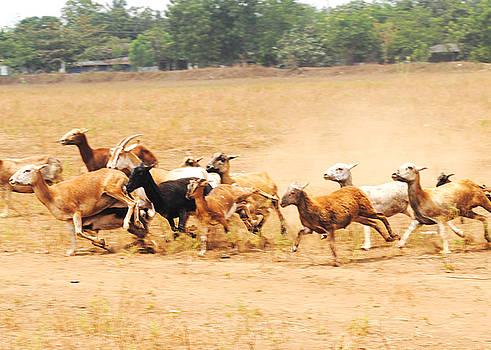 Magdiel - Running Goats