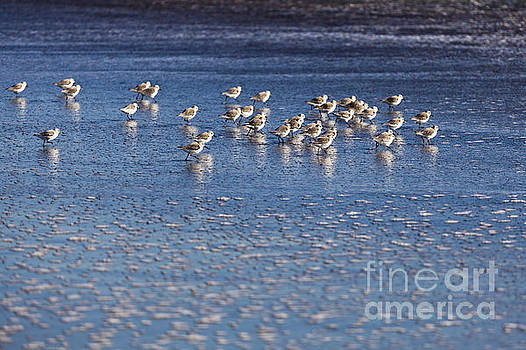 Snowy Plovers Race Along the Shore by Sharon Foelz