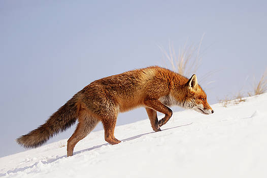 Running up that hill -Red Fox in the Snow by Roeselien Raimond