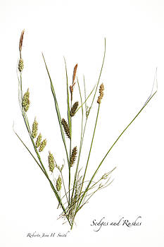 Rushes and Sedges by Roberta Jean Smith