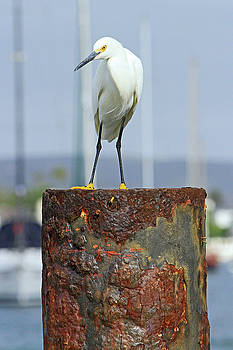Rusty Egret by Shoal Hollingsworth