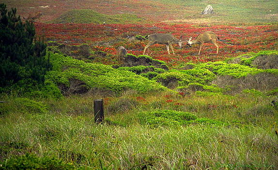 Joyce Dickens - Rutting Deer Of Pacific Grove CA