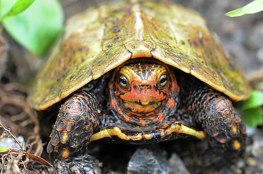 Ryukyu Black breasted leaf turtle by Shawn Miller