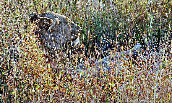 Harvey Barrison - Lion in the Brush Study Number Five
